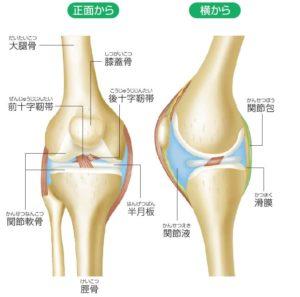 膝関節,基礎知識,構造
